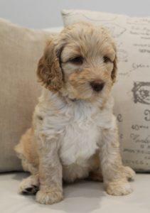 Portland Oregon Salem Sherwood standard labradoodles puppies breeders now