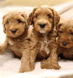 Oregon Washington labradoodle puppies available now