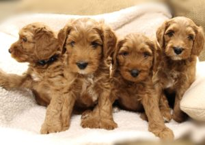 summer labradoodle puppies available now