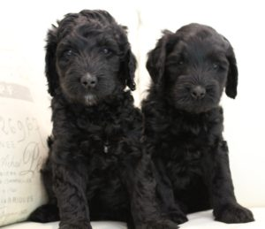 therapy puppies labradoodles standard size now
