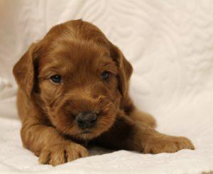 Oregon Puppy Culture labradoodle puppies