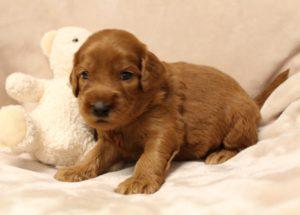 cream labradoodle puppies standard size Oregon