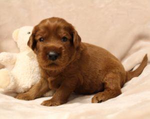 Best Australian Labradoodle puppies Oregon Breeders