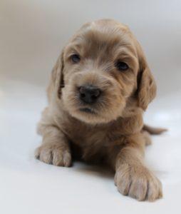 Oregon Washington Australian Labradoodle puppies available now