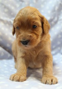 standard labradoodle puppies fall puppies Oregon