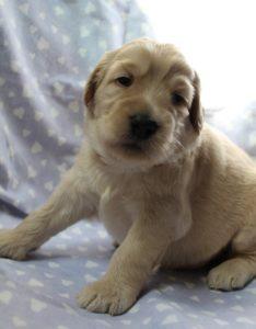 Oregon Salem Portland Australian Labradoodle puppy breeders