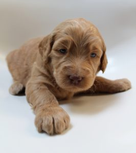 Portland Seattle Vancouver Olympia Labradoodle puppies standard size