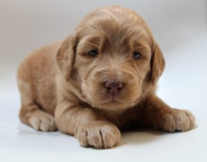 Olympia Washington Australian labradoodles standard size puppies