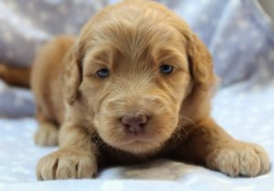 labradoodle puppies available now standard size