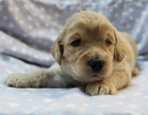 Oregon Australian Labradoodle breeders standard size puppies