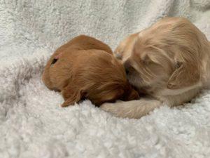 Oregon Labradoodle puppies now
