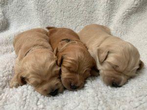 Sherwood Tigard Beaverton Oregon labradoodle puppies breeders