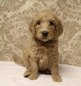 Oregon labradoodle puppies available now