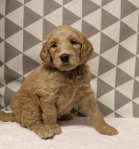 Oregon Washington Australian labradoodles puppies available now