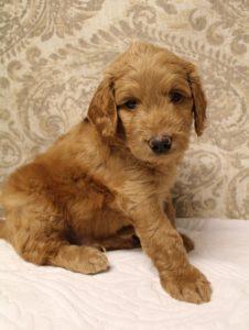 Salem Vancouver Seattle Portland labradoodle puppies available