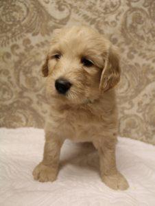 Oregon standard labradoodle breeders Puppy Culture