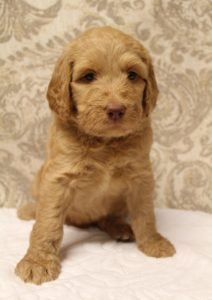 Washington labradoodle puppies available now