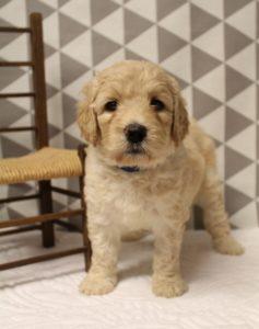 cream standard labradoodles puppies available Oregon