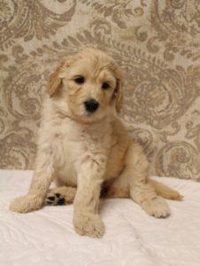 Oregon Labradoodle breeders standard size puppies