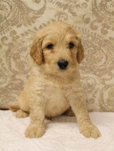 Oregon labradoodles puppies available now Portland Seattle Vancouver