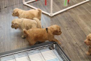 Oregon Australian Labradoodle breeders puppies now