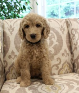 Seattle Portland Olympia Vancouver labradoodle puppies now breeders
