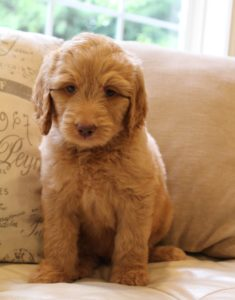 Oregon labradoodle breeders puppies now