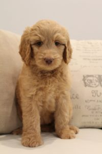 Oregon labradoodle puppies available