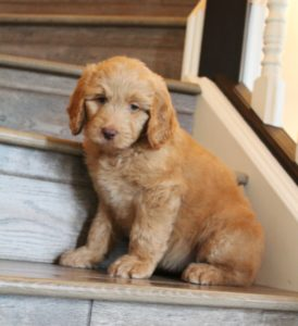 Washington labradoodle breeders puppies available now