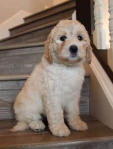 labradoodle puppies now