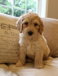 Salem McMinnville labradoodle breeders Yamhill County