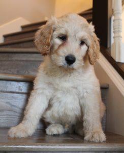 Portland Oregon labradoodle puppies available