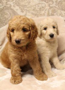 Best Oregon labradoodle breeders best puppies now