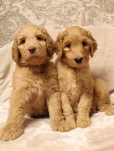 Portland Oregon Australian Labradoodle breeders best rated labradoodle breeders