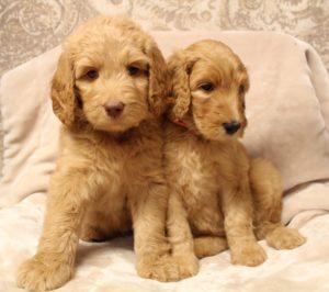 Puppy Culture puppies Oregon labradoodle breeders