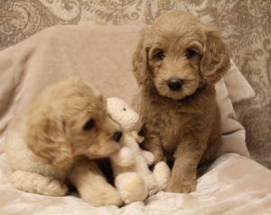 best Australian Labradoodle puppy breeder Oregon