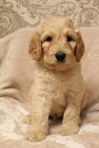 Salem Portland Oregon labradoodle puppies available now