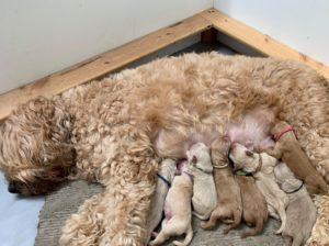 Portland Oregon Salem puppies Australian Labradoodle breeders