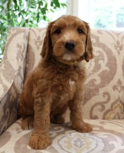 Oregon Yamhill County labradoodle breeders