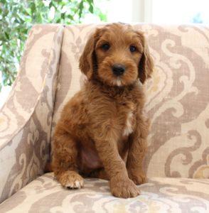 Best labradoodle breeder Oregon Washington Puppy Culture puppies