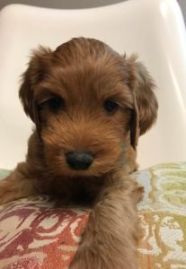 Oregon Australian labradoodle best puppies therapy dogs