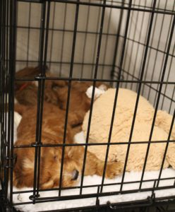 Valley Vineyard Labradoodles best labradoodle puppies Oregon