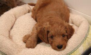 Oregon labradoodle puppy breeders Portland Salem