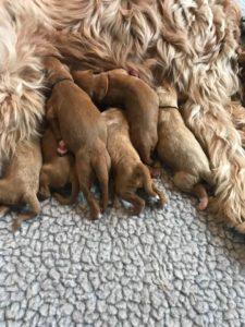 Oregon Australian Labradoodle breeders best puppies now