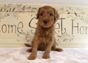 Washington labradoodle puppies available now best breeder