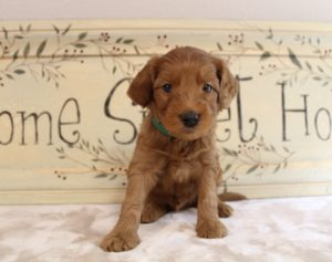 Salem Oregon Labradoodle puppies available now breeder