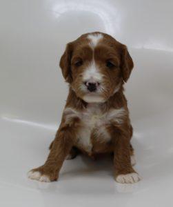 Oregon Labradoodle breeders puppies