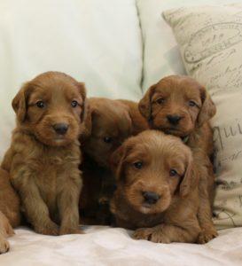 Oregon best labradoodle puppies breeder