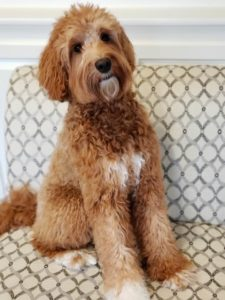 Oregon best labradoodle breeder therapy dogs