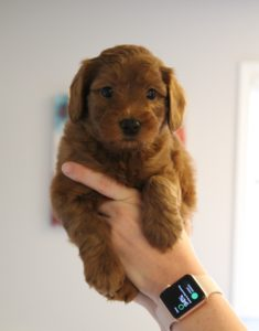 standard labradoodle puppies available Oregon